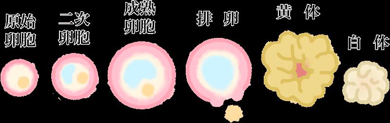 卵胞・卵子の成長過程